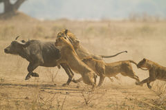 The Chase. African Buffalo (Syncerus caffer) being caught by Lions (Panthera leo).  Taken in Mana Pools National Park, Zimbabwe Royalty Free Stock Image
