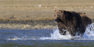 The chase is on for brown bear in panoramic shot. Brown bear chasing salmon in river Stock Photos