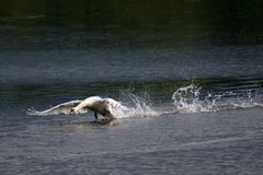 The Chase. A male Swan chasing off a rival at my local lake royalty free stock image