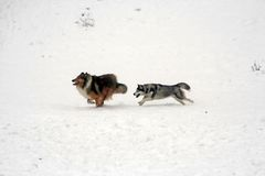 Chase on snow. Siberian husky dog chasing a collie dog in snow Stock Photos