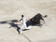 Chased by the bull. The participant, or raseteur, to the course camarguaise in the old amphitheatre in Arles, France being chased by a bull. This is a bloodless Royalty Free Stock Images