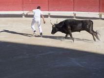 Chased by the bull. The participant, or raseteur, to the course camarguaise in the old amphitheatre in Arles, France being chased by a bull. This is a bloodless Stock Photography