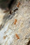 Chasing army ants Stock Photography