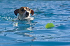 Chasing a Ball. A jack russell terrier swimming after a tennis ball in the pool Stock Image