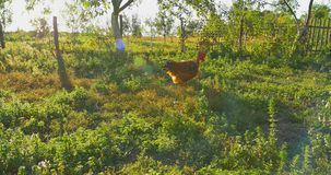 Chasing chicken cock outdoor, running following stock footage