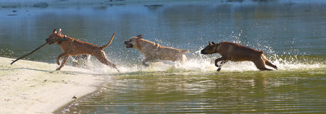 Chasing dogs Royalty Free Stock Images