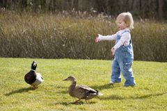 Chasing Ducks. Cute toddler tries to catch a pair of ducks Royalty Free Stock Image
