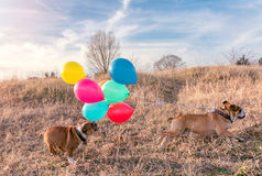 Chasing English bulldogs Stock Images