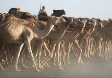 Chasing herd of camels royalty free stock images