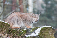 Chasing lynx. Creeping lynx on a hunt in winter forest Royalty Free Stock Photo