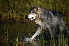 Chasing Prey. Closeup of a Tundra Wolf running through a pond Stock Photos