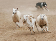 Chasing Sheep. A sheepdog chasing a group of sheep in a dirt field royalty free stock photo