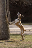 Chasing Squirrels in the Park. Fawnequin Great Dane Chasing Squirrels in the Park Royalty Free Stock Images