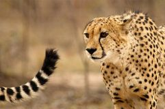 Chasing tails. Brother cheetahs set off on a hunt. Focussed Stock Image
