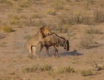 Chasse à lion Images libres de droits