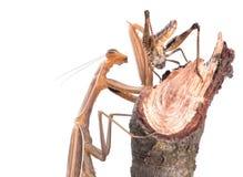 Chasse à Mantis sur la sauterelle Photos stock