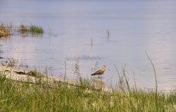 Chasse à queue noire de barge sur le lac Svityaz images stock