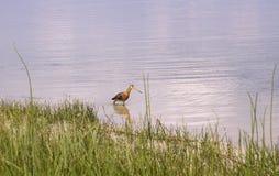 Chasse à queue noire de barge sur le lac Svityaz photos libres de droits