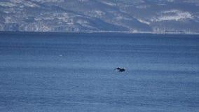 chasse Blanc-épaulée au-dessus de l'océan banque de vidéos