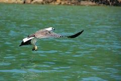 chasse Blanc-gonflée d'Eagle de mer, île de Langkawi Images stock