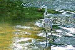Chasse bleue de héron dans des courants de fleuve Images libres de droits