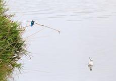 Chasse commune de martin-pêcheur Photos stock