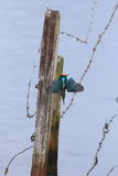 Chasse commune de martin-pêcheur Photos libres de droits