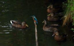 Chasse commune de martin-pêcheur Photographie stock