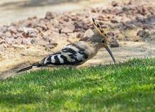 Chasse d'oiseau de huppe sur une pelouse photo stock