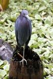 Chasse d'oiseau de la Floride Images stock