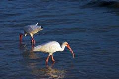 Chasse d'oiseau de rivage Photographie stock