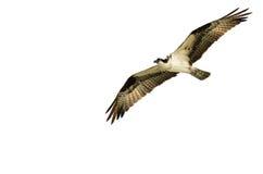 Chasse de balbuzard sur l'aile sur un fond blanc Images stock