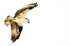 Chasse de balbuzard sur l'aile sur un fond blanc Photographie stock libre de droits