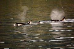 Chasse de baleines d'orque Images libres de droits