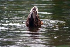 Chasse de canard de Brown dans l'eau Photographie stock libre de droits