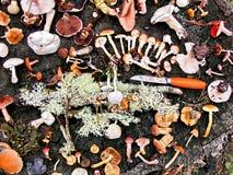 Chasse de champignon de couche Photo stock