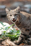Chasse de chat sauvage Images stock