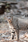 Chasse de chat sauvage Image stock