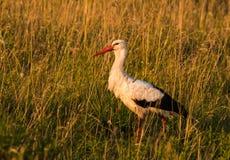 Chasse de cigogne dans l'herbe au coucher du soleil photos libres de droits