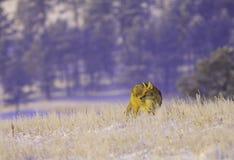 Chasse de coyote Image libre de droits