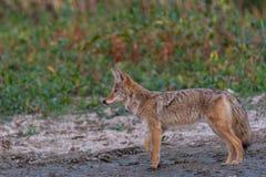 Chasse de coyote dans la boue photographie stock libre de droits