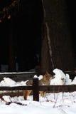 Chasse de coyote dans la neige photo stock