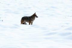 Chasse de coyote dans la neige images stock