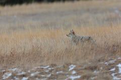 Chasse de coyote dans le domaine d'herbe images libres de droits