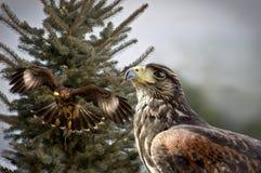 Chasse de deux faucons coupée la queue par rouge Photo stock