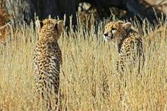 Chasse de deux guépards Images stock