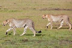 Chasse de deux guépards Photographie stock libre de droits