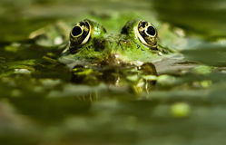 Chasse de grenouille Photographie stock