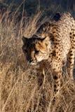 Chasse de guépard Photo libre de droits