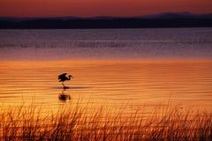 Chasse de héron de Champlain de lac à l'aube image libre de droits